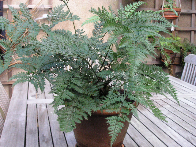 lastreopsis hispida
